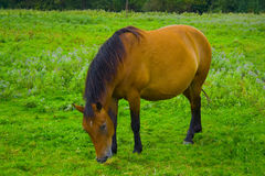 Grazing horse Stock Image