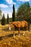 Grazing horse. Some Quarter horse in tuscany, Italy royalty free stock photo