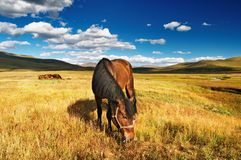 Grazing horse. Landscape with grazing horses at sunset Royalty Free Stock Photography