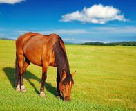 Grazing horse. Rural landscape with grazing horse and blue sky Stock Image