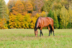 Grazing horse in autumn Royalty Free Stock Image