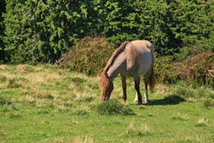 Grazing horse Stock Photography