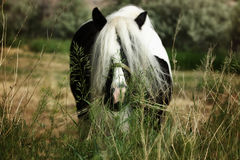 Grazing Horse. Black and white Gypsy Vanner horse grazing in the pasture Royalty Free Stock Photography