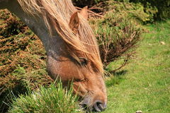 Grazing horse close up Stock Images