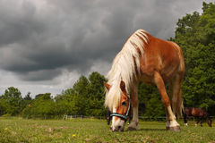 Grazing Horse, Closeup Stock Image