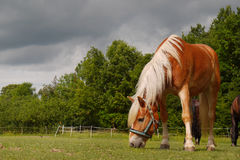 Grazing Horse, Closeup Stock Photography