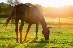 Grazing horse in early morning backlight Royalty Free Stock Photos