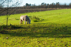 Grazing horse in a farm Stock Image