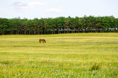 Grazing horse on the field. Royalty Free Stock Photo