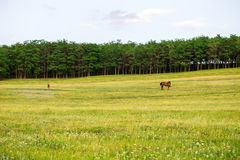 Grazing horse on the field. Royalty Free Stock Image
