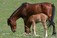 Grazing horse and foal Royalty Free Stock Photos