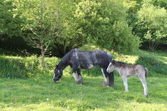 Grazing Horse with a foal Royalty Free Stock Image