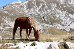 Grazing horse in free nature, Abruzzo, Italy. The mid- to lower slopes of the Italian Gran Sasso are grazed in spring, summer and autumn by herds of cattle and Royalty Free Stock Images