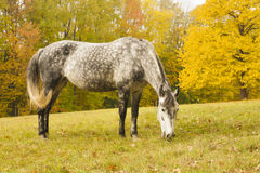 Grazing horse on a glade. In autumn Royalty Free Stock Photo