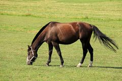 Grazing Horse on the green Pasture Royalty Free Stock Image