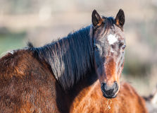 Grazing horse looking back Royalty Free Stock Images