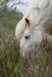 Grazing horse. Horse grazing on marsh grasses in the camargue in the south of france royalty free stock photography