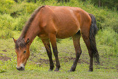 Grazing horse in the meadow Stock Photos