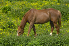 Grazing horse in a meadow. A grazing horse in a green meadow with yellow flowers stock photography