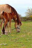 Grazing Horse in a Meadow With Its Foal. Near on the Grass Royalty Free Stock Photo