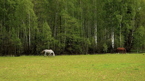 Grazing horse in a meadow Royalty Free Stock Images