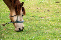 Grazing Horse in a Meadow. On th Yard Royalty Free Stock Image