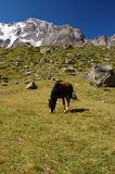 Grazing horse at mountain Royalty Free Stock Image
