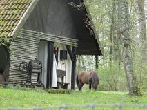 Grazing horse next to a lonely rural Polish cottage in forest. A grazing horse next to a lonely rural Polish cottage with archaic farming equipment, Green forest Royalty Free Stock Image
