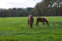 Grazing horse on pasture, mare with her foal Stock Photos