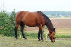 Grazing horse at ranch Royalty Free Stock Photography
