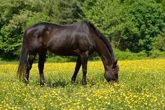 Grazing horse Royalty Free Stock Photo