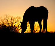 Grazing horse silhouette. D against setting sun Royalty Free Stock Images