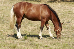 Grazing horse. Specimen of male horse to pasture free in fields Royalty Free Stock Images