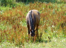 Grazing horse on a summer day Stock Images