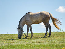 Grazing horse Stock Images