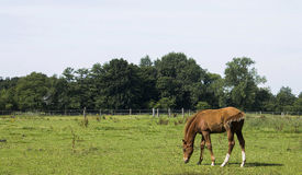Grazing horse. Horse is grazing on wide meadow Stock Photos