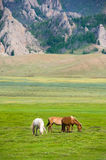 Grazing horses. On green pasture near mountain royalty free stock photography