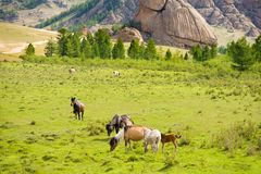 Grazing horses. Group of horses grazing at green pasture royalty free stock photo