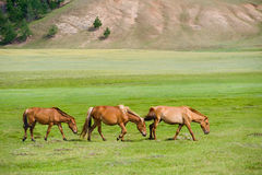 Grazing horses. Three pacing horses grazing at green pasture royalty free stock images