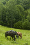 Grazing Horses . Royalty Free Stock Photo