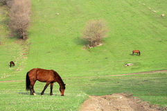Grazing horses Royalty Free Stock Photos