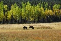 Grazing Horses Stock Image