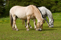 Grazing horses. Grazing horses out on the summer pasture Royalty Free Stock Images