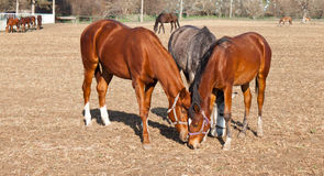 Grazing horses. Three beautiful horses grazing in village Royalty Free Stock Image