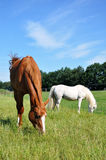 Grazing Horses. Grazing Hanoverian mare and white pony in a pasture Royalty Free Stock Photo