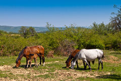 Grazing horses. Herd of horses released at the foot of the mountain Royalty Free Stock Photo