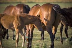 Grazing horses. At sunset in a meadow Royalty Free Stock Photography