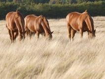 Grazing Horses Royalty Free Stock Photo
