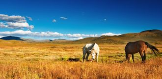 Grazing horses. At mountain grassland Stock Photo