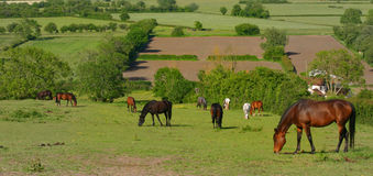 Grazing horses. Meadow with ten domestic horses Stock Image